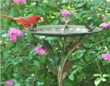scarlet bird drinking from bird bath
