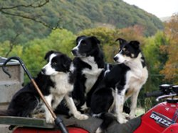 three collies on the back of a quad bike