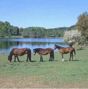 three horses by lake
