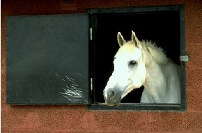 white horse looking over stable door