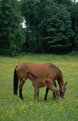 horse and foal eating grass